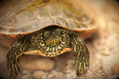 turtle_western_painted