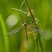 Una zanzara innocua...
