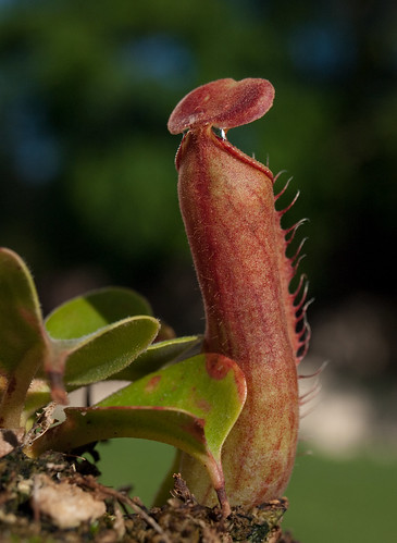 Nepenthes Truncata 'Pasian Highland' Back of Pitcher