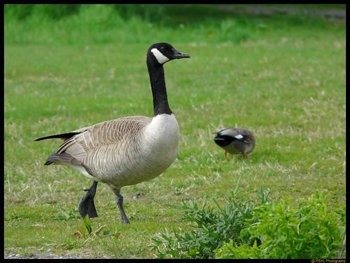 Canada Goose (Branta canadensis) and Gadwall