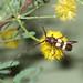 e Aethecerinus latecinctus