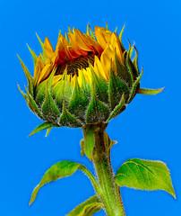 Happy Mothers Day (kevsyd) Tags: stilllife macro sunflower mothersday kevinbest kevsyd