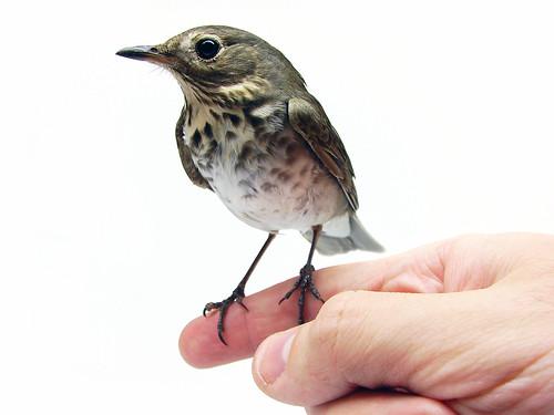 フリー画像| 動物写真| 鳥類| ツグミ|        フリー素材|