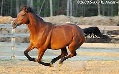 Wizard (Rock and Racehorses) Tags: horse liberty bay wizard may thoroughbred tb gallop ska2967