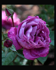 Another Purple Rose (Chuck Hunts) Tags: flowers flower rose rosa soe purplerose canonefs60mmf28macro photoshopcs3 canoneos450d