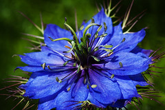 Star Light Star Bright (scraplyn2) Tags: flower nature nigella artisticphotography macromania naturalexcellence thirdlife mamasbloomers lirodon