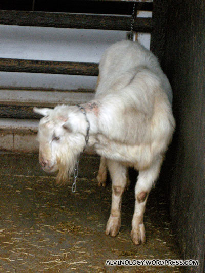 Sad-looking goat