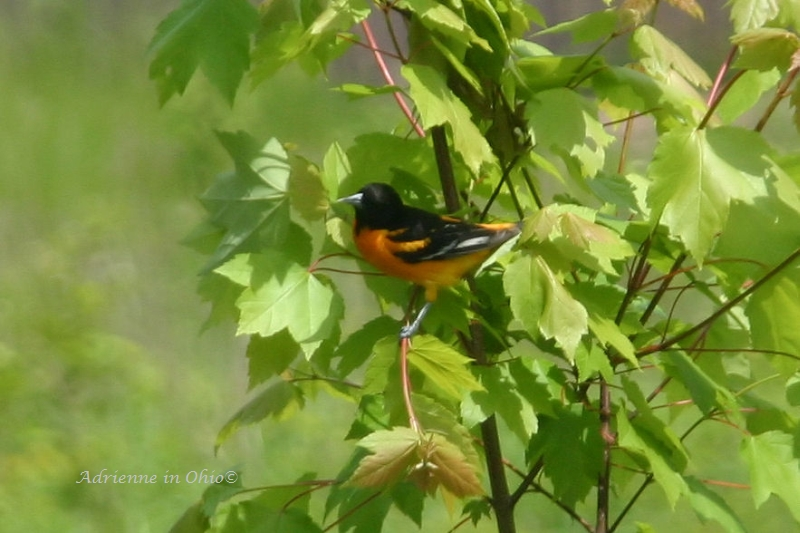 male oriole photo by Adrienne in Ohio
