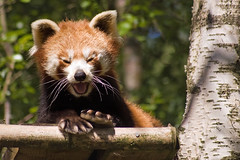 Red Panda (whisperwolf) Tags: animal d50 scotland highlands nikon redpanda kincraig kingussie highlandwildlifepark sigma70300macrodg