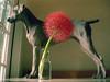 c e n t e r p i e c e s (saikiishiki) Tags: life light portrait dog flower cute love pose giant table amazing still globe sweet gorgeous weimaraner lovely weim mukha scadoxus 20f multiflorus uncropped1st4th6thphotos bloodpowderfpufffireballtorchlily paintbrushfootballafricanbloodlily