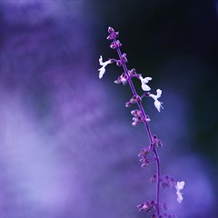365/157: Purple Salvia (jane.garratt) Tags: flowers plants postprocessed salvia iphoto squarecrop picnik botanicgardens scarboroughfair colourpurple simongarfunkle natureycrap adjustedcolour hpps canoneos450d canonefs55250mmf456is perfectpurplesaturdays 365oneyearon withasong rememberingtoby