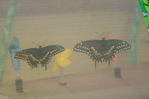 Male and Female Black Swallowtails