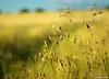 Simplicité (fabdebaz) Tags: paysage 31 distillery 2009 baziège blé aficionados sudouest hautegaronne lauragais k10d pentaxk10d francelandscapes justpentax vosplusbellesphotos baziege