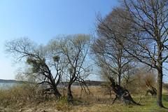 Bume am See (ThomasKohler) Tags: lake tree nature see natur teich baum mv mecklenburg feisneck seenplatte feisnecksee