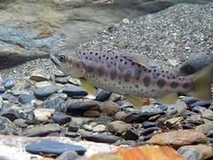 台灣櫻花鉤吻鮭亞成魚。圖片來自:雪霸國家公園管理處。