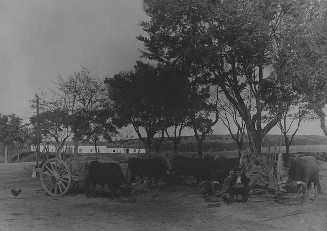 Bueyes en el Palacio de Buenavista en 1915. Foto de Anna M. Christian. The Hispanic Society of America