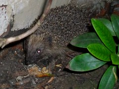 Hedgehog visiting my garden. (fiona parkes) Tags: garden hedgehog