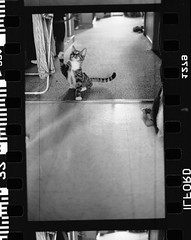 ich playing (Inhale kilz) Tags: baby white playing black cute cat 50mm paw kitten tail adorable kitty delta professional explore 400 string paws 18 ich ilford claws ichabod eos1 sprokets explored