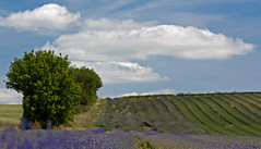 Early Lavender (judepics) Tags: uk tree clouds lavender hertfordshire hitchin ickleford cadwellfarm