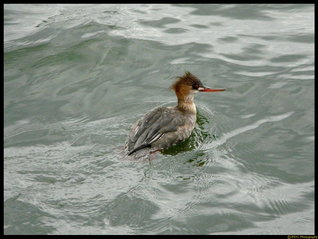 Female Red-breasted Merganser (Mergus serrator)