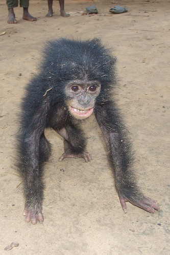 baby bonobo, mother bushmeat-2