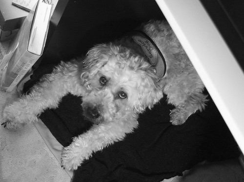 Frida ready for work, practicing a down-stay under my desk