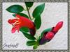 Aeschynanthus radicans 'Crispa' (Lipstick Plant, Lipstick Vine, Basket Vine)