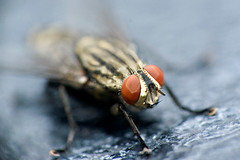 Fly macro croped at 1:2 (Stephan Gynen) Tags: macro 50mm fly nikon f14 steve n vietnam d100 hemera nikkors rui
