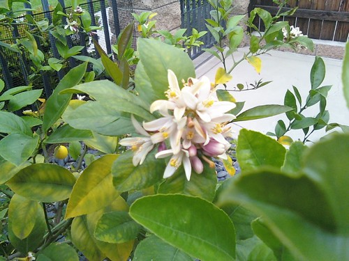 Lemon Blossoms on Our Lemon Tree