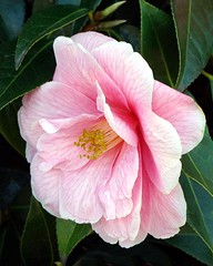 camellia bloom (sure2talk) Tags: flower bloom camellia scavengerhunt pfo pfogold pfosilver goldstaraward