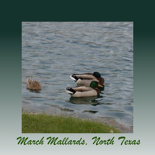 March Mallards, North Texas