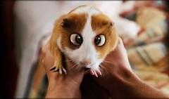 how freaking cute is that (cybermelli) Tags: adam movie guinea pig bugsy sandler