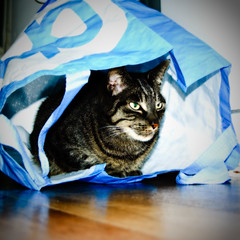 (hadewijch) Tags: pet pets animal animals cat square creatures creature bommel 1855mmf3556 nikond40