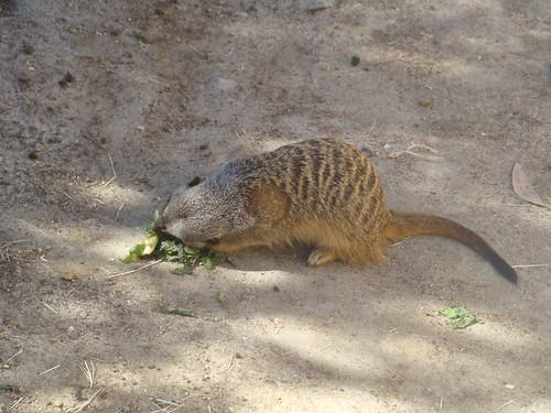 Meerkat at the Los Angeles Zoo