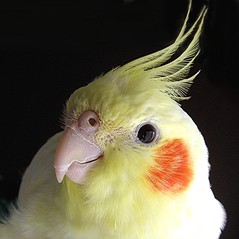Portrait of Mischief! (Mary Faith.) Tags: wild pet macro bird nature animal yellow children soft play bright flight beak feathers australia crest cockatiel whistle clever nostrils lutino lutinocockatiel cagebird colorphotoaward aplusphoto memorycornerportraits blinkagain bestofblinkwinners