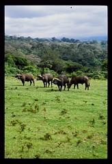 Cape Buffalo - Africa (DLSteez) Tags: africa capebuffalo africanbuffalo