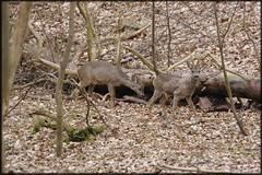 camoufls (Philou Philou) Tags: deer roedeer chevreuil reebok capreolus fortdesoignes capriolo rehbok rehebock