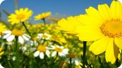 amarillo primavera (ƒiore arancione) Tags: flowers españa flores flower primavera yellow spring spain flor murcia daisy campo margaritas