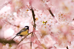 Showered with flowers (Fabi Fliervoet) Tags: pictures pink flowers flower holland tree bird nature field spring tit dof natural photos blossom great stock thenetherlands denhaag aves framing lovely hiding depth passerine thechallengefactory winnerbc fabifliervoet