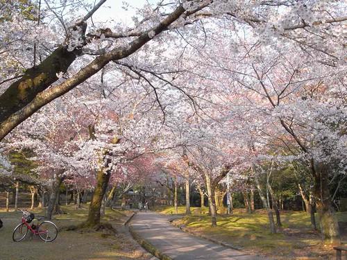 09-04-05【桜】@奈良公園-06