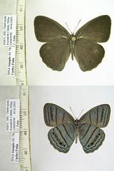 Cepheuptychia spn