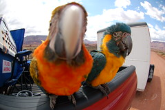close up parrot (1) (Dave Womach) Tags: blue orange fish bird eye yellow lens outside outdoors utah ut towers parrot fisheye fisher moab camelot hybrid macaw comet