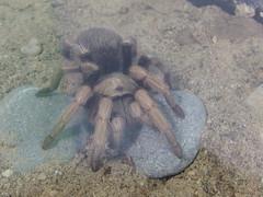 CIMG1185 (Lori & Todd) Tags: victoria tarantula bugmuseum