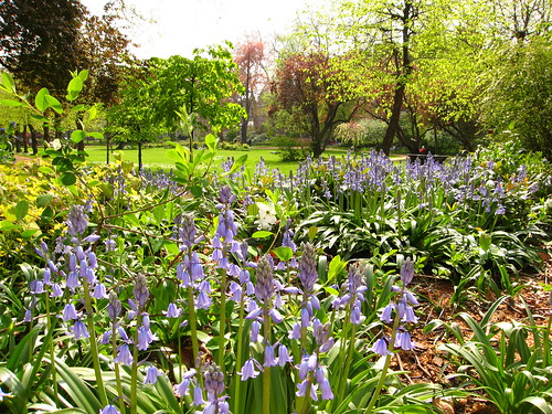 Bluebells in Gordon Square, Bloomsbury
