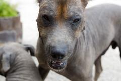 Lima (kronerda) Tags: dog peru lima hairless peruvian