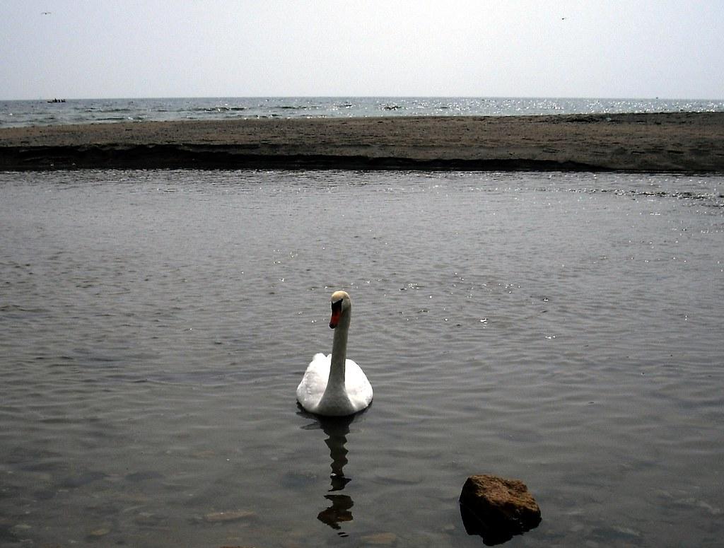 Swan on the Beach, Pentewan, St Austell, Cornwall
