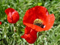 (Mahsa3611) Tags: red flower nature spring iran anemone poet kashan mahsa  sohrab      sohrabsepehri   mahsa3611
