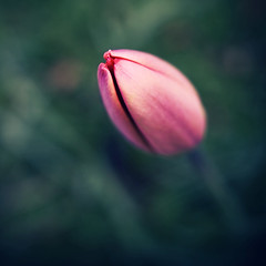 (koinis) Tags: red flower macro closeup john wednesday spring closed dof bokeh sigma explore tulip 24mm 18 sqr hbw koinberg koinis enbrabild
