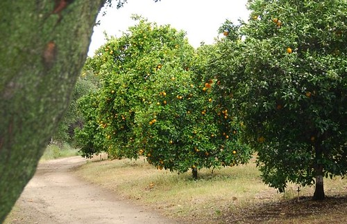 san diego orange grove