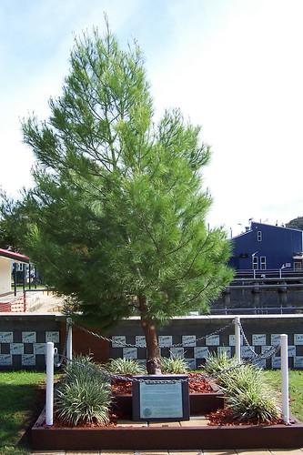 Lone pine, Woy Woy War Memorial Park